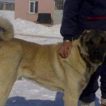 Karabaş Kangal Çoban Köpeği