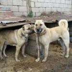 Kangal Köpekleri Damızlık Seçimi