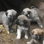 Sivas Kangal Köpeği Lisanslı