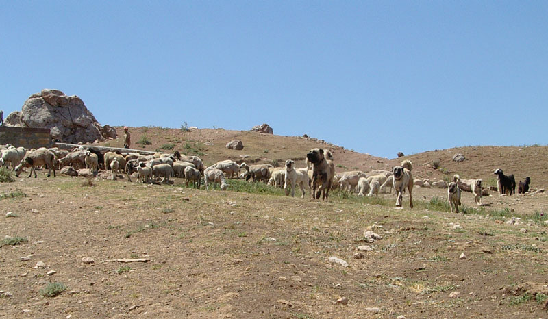 Konya Kangal Sürü Köpeği Satışı