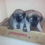satılık kangal yavruları fiyatları ankara