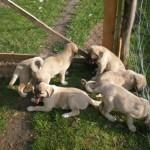 Köpek Eğitimi 0-6 Aylık Köpekler