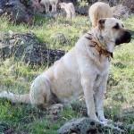 Kangal Çoban Köpekleri