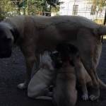 Kangal Köpeklerinin Döl Verimi Hakkında