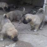Gaziantep kangal köpek yavrusu satışı