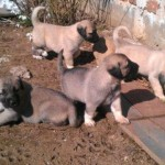 Kangal Yavrusu İsimleri
