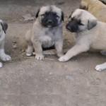 kangal yavru köpek fiyatları