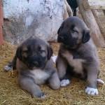 Diyarbakır Satılık Sivas Kangal Köpekleri